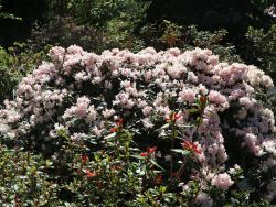 Rhododendron 'Ginny Gee' - Rhododendron keiskei 'Ginny Gee'