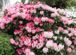 Rhododendron 'Lem's Monarch' - Rhododendron Hybride 'Lem's Monarch'