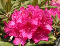 Rhododendron 'Pearce's American Beauty' - Rhododendron Hybride 'Pearce's American Beauty'