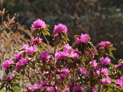 Rhododendron 'P.J.M.Elite' - Rhododendron carolinianum 'P.J.M.Elite'