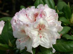 Rhododendron 'Simona' - Rhododendron Hybride 'Simona'