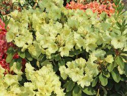 Rhododendron 'Simson' - Rhododendron Hybride 'Simson'