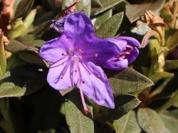 Rhododendron 'Violetta' - Rhododendron impeditum 'Violetta'