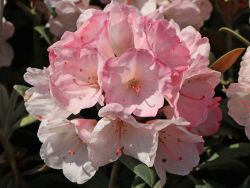 Rhododendron 'Yaku Sunrise' - Rhododendron yakushimanum 'Yaku Sunrise'