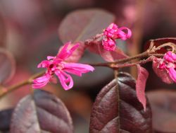 Riemenbl�te 'Fire Dance' - Loropetalum chinense 'Fire Dance'