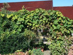 Rostrote Rebe / Scharlachwein - Vitis coignetiae