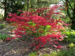 Rotaustreibender F�cherahorn 'Deshojo' - Acer palmatum 'Deshojo'