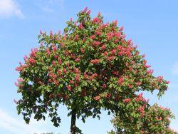 Rotbl�hende Ro�kastanie / Edelkastanie - Aesculus carnea 'Briotii'