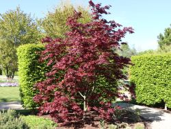 Roter F�cher-Ahorn 'Bloodgood' - Acer palmatum 'Bloodgood'