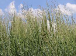 Ruten Hirse 'Prairie Sky' - Panicum virgatum 'Prairie Sky'