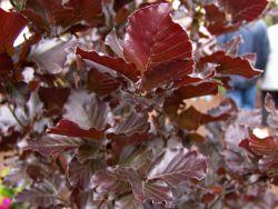 S�ulen-Blutbuche 'Dawyck Purple' - Fagus sylvatica 'Dawyck Purple'