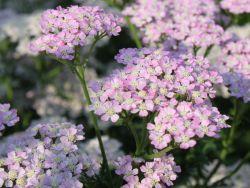 Schafgarbe 'Wonderful Wampee' - Achillea millefolium 'Wonderful Wampee'