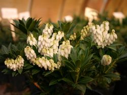 Schattengl�ckchen 'Cavatine' - Pieris japonica 'Cavatine'