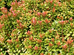 Schattengl�ckchen 'Little Heath Green' - Pieris japonica 'Little Heath Green'