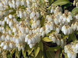 Schattengl�ckchen 'Purity' - Pieris japonica 'Purity'