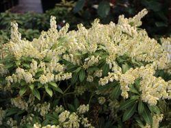 Schattengl�ckchen 'Rondo' - Pieris japonica 'Rondo'