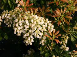 Schattengl�ckchen 'White Cascade' - Pieris japonica 'White Cascade'