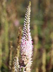 Schein�hriger Ehrenpreis 'Atomic Silvery Pink' - Veronica spicata 'Atomic Silvery Pink'