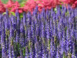 Schein�hriger Ehrenpreis 'Royal Candles Glory' - Veronica spicata 'Royal Candles Glory'