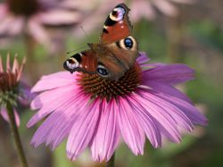 Scheinsonnenhut 'Mistral'� - Echinacea purpurea 'Mistral'�