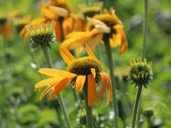 Scheinsonnenhut 'Now Cheesier' - Echinacea purpurea 'Now Cheesier'