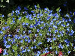Scheinsteinsame 'Grace Ward' - Lithodora diffusa 'Grace Ward'