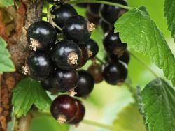 Schwarze Johannisbeere '�jebyn' - Ribes nigrum '�jebyn'