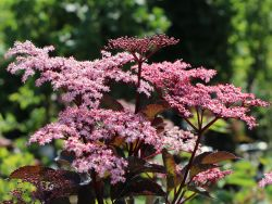 Schwarzer Holunder 'Black Beauty'  � - Sambucus nigra 'Black Beauty'  �