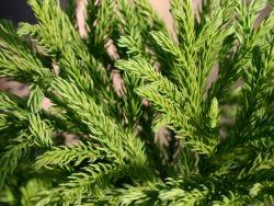 Sicheltanne 'Compressa' - Cryptomeria japonica 'Compressa'