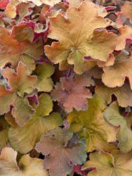 Silbergl�ckchen 'Big Top Gold' - Heuchera villosa 'Big Top Gold'