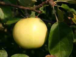 Sommerapfel 'Fr�her Victoria' - Malus 'Fr�her Victoria'