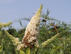 Sommerflieder / Schmetterlingsstrauch 'Peace' - Buddleja davidii 'Peace'