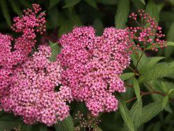 Sommerspiere 'Froebelii' - Spiraea japonica 'Froebelii'