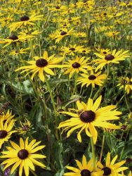 Sonnenhut 'Pot of Gold' - Rudbeckia fulgida 'Pot of Gold'