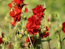 Sonnenröschen `Rubin`, Helianthemum x hybridum `Rubin`, Topfballen