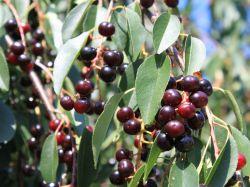 Sp�tbl�hende Traubenkirsche - Prunus serotina