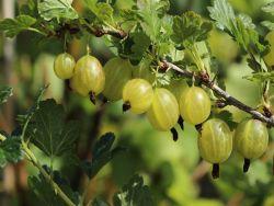 Stachelbeere 'Invicta'    hellgr�n - Ribes uva-crispa 'Invicta'
