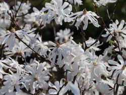 Stern-Magnolie 'Royal Star' - Magnolia stellata 'Royal Star'