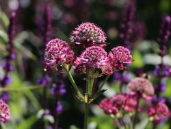 Sterndolde 'Star of Beauty' � - Astrantia major 'Star of Beauty' �