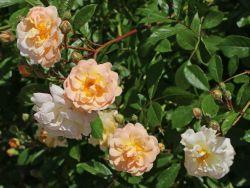 Strauchrose 'Ghislaine de Feligonde' - Rosa 'Ghislaine de Feligonde'
