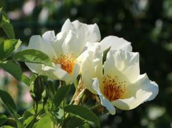 Strauchrose 'Golden Wings' - Rosa 'Golden Wings'