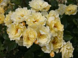 Strauchrose 'Goldspatz' - Rosa 'Goldspatz' ADR-Rose