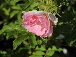 Strauchrose 'Polareis' - Rosa 'Polareis'