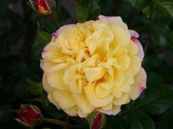 Strauchrose 'Rugelda' � - Rosa 'Rugelda' � ADR-Rose
