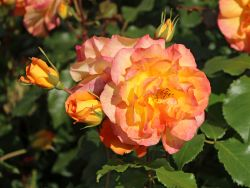 Strauchrose 'Sahara' � - Rosa 'Sahara' �