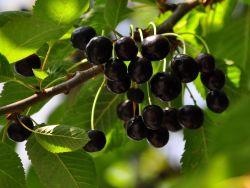 S��kirsche 'Knauffs Schwarze' - Prunus 'Knauffs Schwarze'