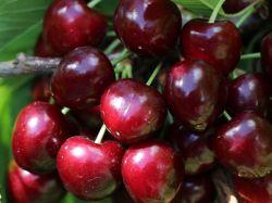 S��kirsche 'Oktavia' - Prunus 'Oktavia'