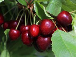 S��kirsche 'Sylvia' - Prunus 'Sylvia'