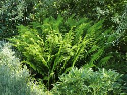 Sumpf-Lappenfarn - Thelypteris palustris