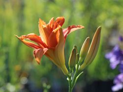 Taglilie 'Apricot Beauty' - Hemerocallis x cultorum 'Apricot Beauty'